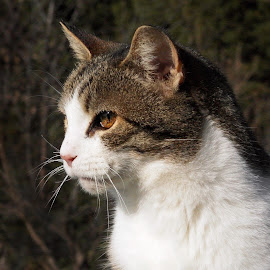 Tazi by Deanna Ramsay - Animals - Cats Portraits ( cats, animals, pets, feline, tabby )