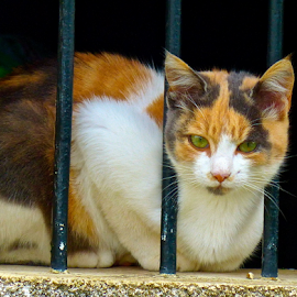 Behind bars by Laura Payne - Animals - Cats Portraits ( calico, snip, cat, stare, secure, security, tortoiseshell, tortie, feline, black, animal, control, safe, orange, stagger, watch, lay, white, mottle, frown, sit, red, prison, see, female, brown, bar, patch, lie,  )