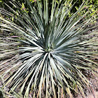 Chaparral Yucca