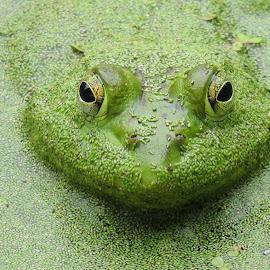 Bullfrong by Debbie Stika - Animals Amphibians (  )