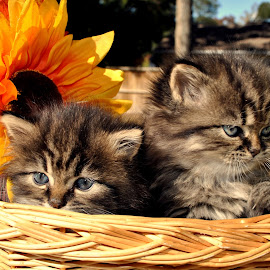 Two kittens in a basket by Ashley Jill - Animals - Cats Kittens ( baby, young, animal )