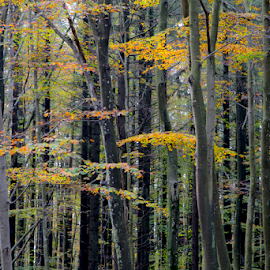 Autumn forest by Simon Kovacic - Nature Up Close Trees & Bushes ( autumn leaves, colors, forest, autumn colors, leaves )