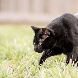 Looking for My Prey by Shawn Klawitter - Animals - Cats Playing ( cat, nature, pet, outdoors, stalking )