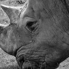 White Rhino by Darren Peckham - Novices Only Wildlife