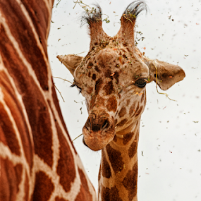 Grass Rain by Cristobal Garciaferro Rubio - Animals Other Mammals ( giraffe, youg giraffe )