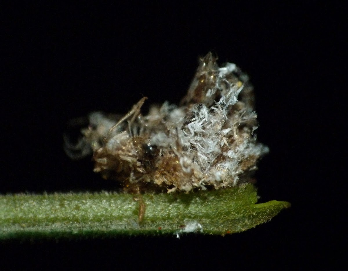 Debris-carrying lacewing nymph