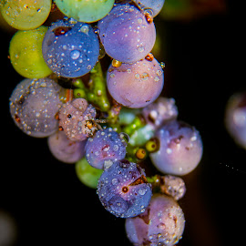 Grape Vine by Sandra Hilton Wagner - Nature Up Close Gardens & Produce ( fruit, grapes, grapevine, raindrops, droplets,  )