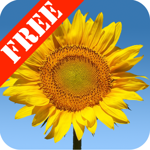 Sunflowers Free Live Wallaper