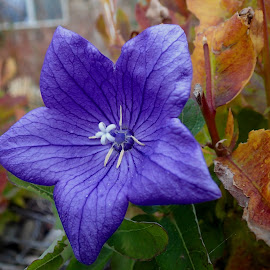 Late Blooming Balloon Flower by Donald Henninger - Novices Only Flowers & Plants ( contrast, macro photography, autumn, blue, leaves, balloon, close up, garden, flower,  )
