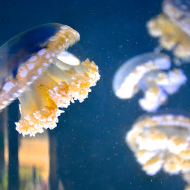 Jellies by Keith Thies - Animals Sea Creatures ( sea creatures, zoo, aquarium, floating, jelly fish )