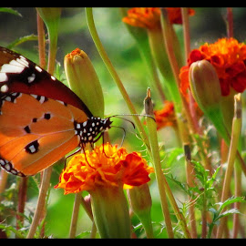 Butterfly... by Surjya Chattopadhyay - Novices Only Macro ( butterfly, nature, flowers, garden, spring )