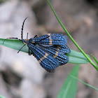 Lycidae - Blue and Orange Net-Winged Beetle