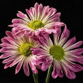 Three Pink Flowers by Martin Belan - Flowers Flower Arangements ( pink flowers, macro, pink, flowers, , Spring, springtime, outdoors )