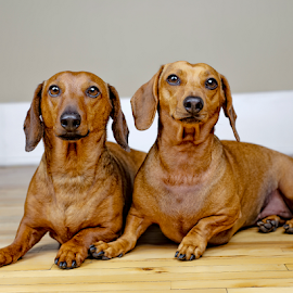by Benoit Beauchamp - Animals - Dogs Portraits