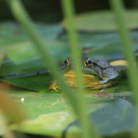 Incognito by Angie Robinson - Animals Amphibians