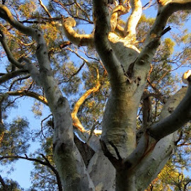 Crowded by Leigh Martin - Nature Up Close Trees & Bushes ( gum tree branches )