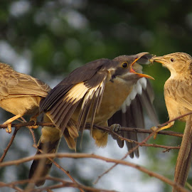 Surrogate mother  by Kishan Meena - Animals Birds ( bird, couckoo, babbler, mother, nature, wildlife )