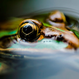 Submarine by Praveen Chandra - Animals Amphibians ( indian frog, indian bullfrog,  )