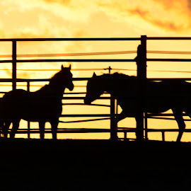 Horses against sunset by Denton Thaves - Animals Horses ( horse )