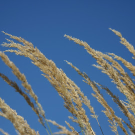 Dry grass by Luka Radevski - Nature Up Close Other plants ( sky, grass )