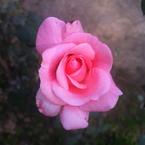 Rose by Khalid Farooq - Instagram & Mobile iPhone ( rose, lahore, winter, summer, pink,  )