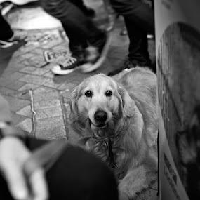 A GoLden STaRes by Daniel Legendarymagic - Animals - Dogs Portraits ( dcp, hongkong, serene, beautiful, hk, digicore, cute, dog, legendarymagic, portrait, golden )