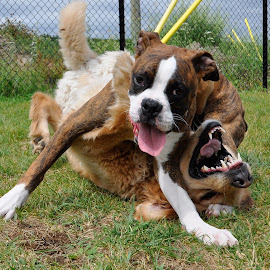 Dogs playing by Christopher Darlington - Animals - Dogs Playing ( dog park, boxer dog, dogs playing, puppy, golden retriever )