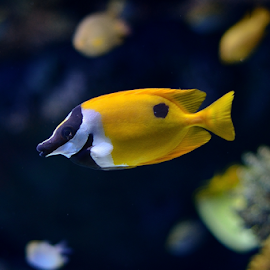 Yellow fish in aquarium by Chatchai Lakamankong - Animals Fish ( water, fish, aquarium, sea aquarium, yellow, dot, singapore )
