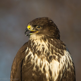 Common Buzzard by Dalia Račkauskaitė - Animals Birds ( bird, common buzzard, buteo buteo )