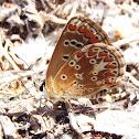 Butterfly Morena de montaña