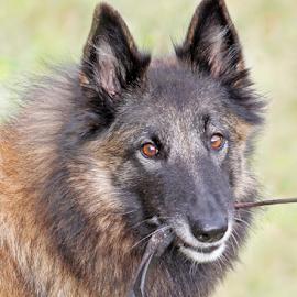 Pleading by Mia Ikonen - Animals - Dogs Portraits ( leash, pleading, belgian shepherd tervueren, finland, pulling,  )