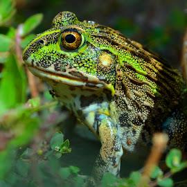 BBBeautiful Bullfrog by Niela du Preez - Animals Amphibians ( giant african bullfrog, bullfrog, pixie frog, pyxicephalus adspersus, green frog, juvenile bullfrog )