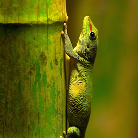 The green by Alessandro Politici - Animals Reptiles ( bamboo, animals, green, reptile,  )