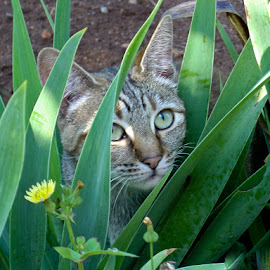 Peekaboo by Mal Selby - Animals - Cats Portraits ( cat, pets, plants, tabby, garden,  )