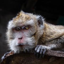 Self Confident Monkey by Ari Wid - Animals Other ( monkeys, self confident, ape, confident, apes, self, monkey,  )