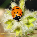 Convergent lady beetle