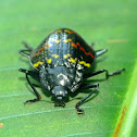 Zig-Zag beetle or Pleasing fungus beetle