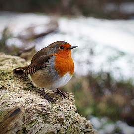 Rotund Robin by Luke Moseley - Animals Birds ( robin bird dof winter snow bokeh )