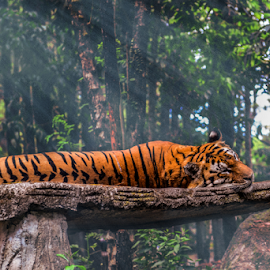 I am sleeping by Tedjo Baskoro - Animals Lions, Tigers & Big Cats
