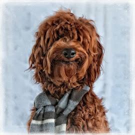 Doug by Steve Ahrens - Animals - Dogs Portraits