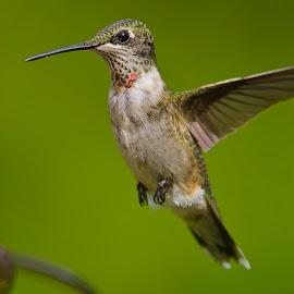 ** by Roy Walter - Animals Birds ( flight, animals, wings, hummingbird, wildlife, feathers, birds,  )