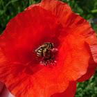 Avispa. Wasp