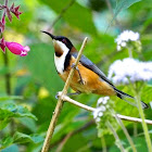 Eastern Spinebill (male)