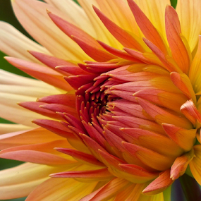 by Laura Payne - Flowers Single Flower ( plant, curve, single, warm, centre, change, curl, merge, line, yellow, vein, ambient, heat, sun, tip, unfurl, temperature, flame, colour, open, bi-colour, side, evolve, flower, themum, petal, eye, orange, safe, tongue, moderate, peach, emerge, cream, point, rose, red, grow, wave, salmon, hot, dahlia,  )