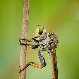 by Adi Parmana - Animals Insects & Spiders (  )