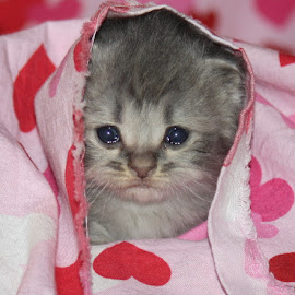 Abby by Leah Danker - Animals - Cats Kittens ( abby, kitten, persian, adorable, cute,  )