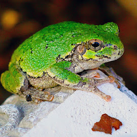 Green by Marc Wahrer - Animals Amphibians ( frog, green, amphibian, small, animal )
