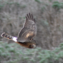 Norther Harrier (juvenile)