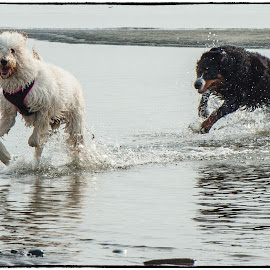 Chasing Each Other by Garry Dosa - Animals - Dogs Running ( beach, dog, animal,  )