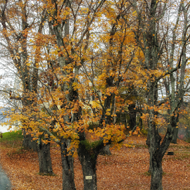 Leaves by Nancy Merolle - Landscapes Forests ( autumn, colors, foliage, fall, trees, forest, landscape, leaves, woods )